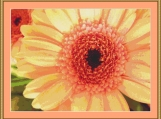 Apricot Gerbera Cross Stitch Pattern