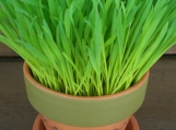 :: SPRING IN A POT ... wheat grass garden kit ::