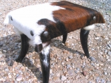 Rustic Horn leg cowhide footstool Made In USA Brindle Pinto 0148